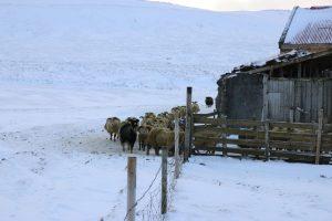 Sheep & Horse Farm Kopareykir - Island Schafe